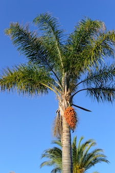 Palm tree with fruits on a  of blue sky