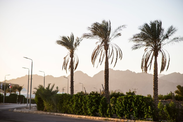 Palm trees against the background of the mountains at sunset