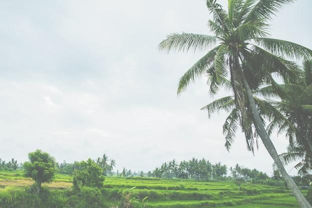 ヤシの木は、青い空を背景にした日中の光です。バリ島の棚田