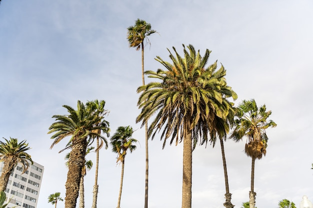 Palm trees in the evening in the streets of los angeles, california