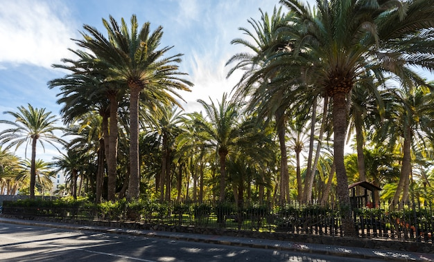 Palm trees growing in a park in maspalomas, gran canaria in spain. road in front.