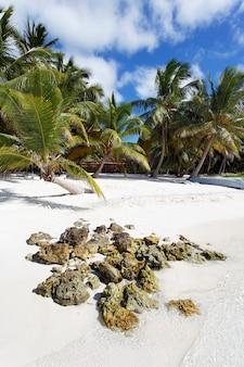 カリブ海のビーチのヤシの木