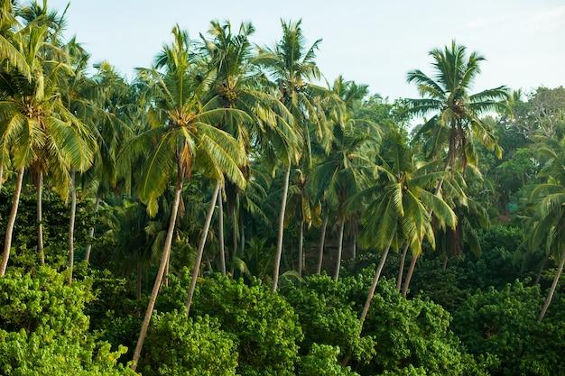 熱帯のジャングルのヤシの木