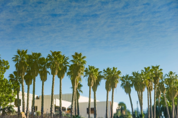 Palm trees line