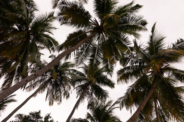 Palm trees with coconuts close up