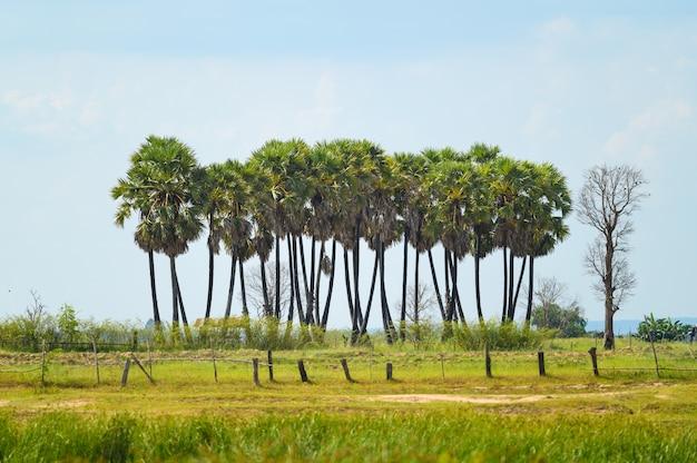 水田の砂糖palm子の木。