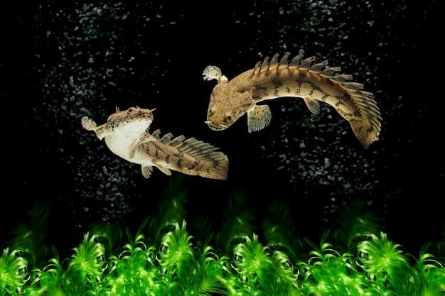 수중에서 수영하는 팔마스 또는 비시르 물고기
