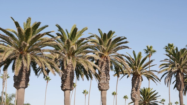 Palms in los angeles, california, usa. summertime aesthetic of santa monica and venice beach on pacific ocean. clear blue sky and iconic palm trees. atmosphere of beverly hills in hollywood. la vibes