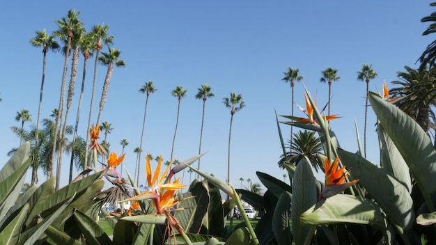 Palms in los angeles, california, usa. summertime aesthetic of santa monica and venice beach on pacific ocean. strelitzia bird of paradise flower. atmosphere of beverly hills in hollywood. la vibes