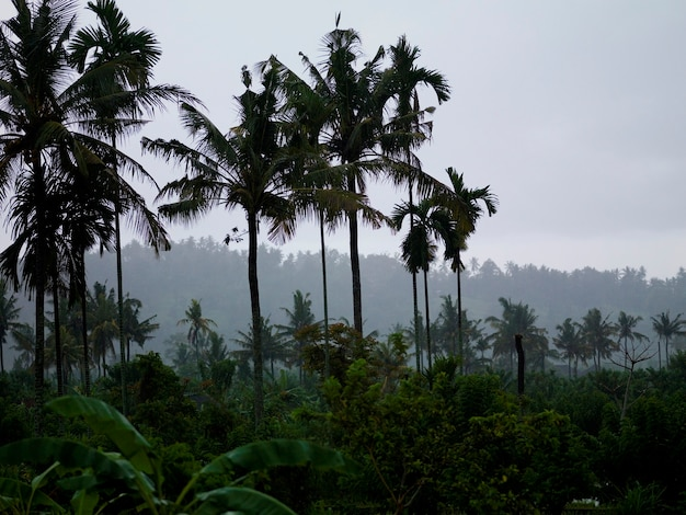 Palmtrees and mist in bali