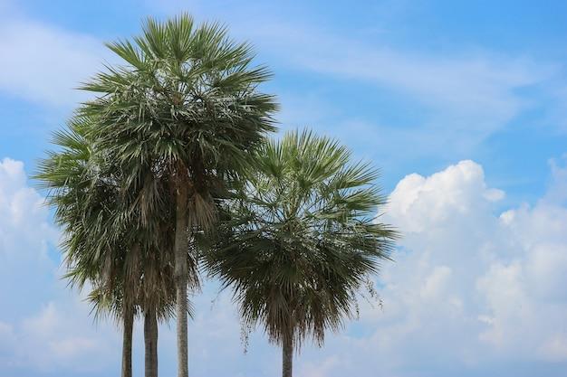 Palmyra palm trees on copy space blue cloud sky background.