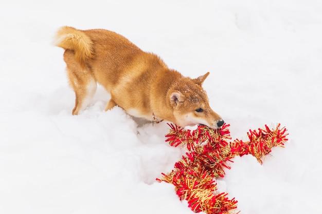 雪に覆われた野原に赤い見掛け倒しと茶色の血統書犬のpalying。柴犬