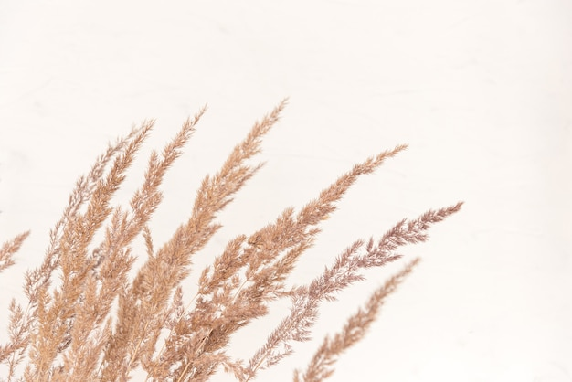 Pampas fluffy grass outdoor in light pastel colours