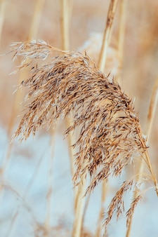 日没時のパンパスグラス。明るい背景に中間色の葦の種。乾いた葦がクローズアップ。太陽の下でトレンディな柔らかなふわふわの植物。ミニマルでスタイリッシュなコンセプト