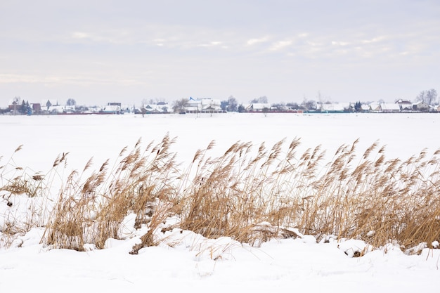 Pampas grass branches on the background of winter nature