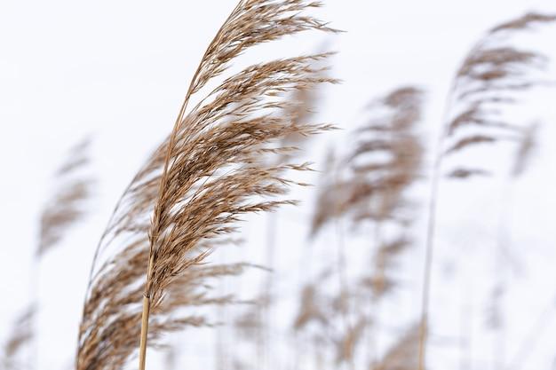 Ветви травы пампасов на фоне зимней природы