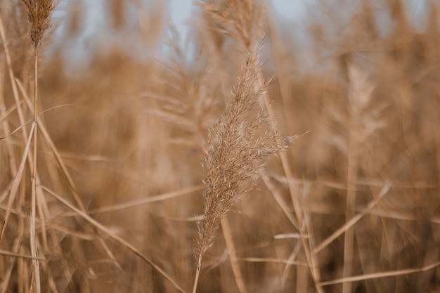 Трава пампасов в сером небе. абстрактный естественный минимальный фон с пушистыми растениями cortaderia selloana, движущимися на ветру.