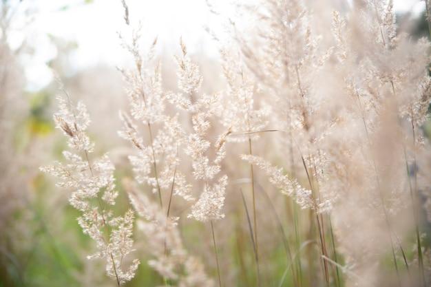하늘에 있는 억새풀은 부드러운 식물 코르타데리아 셀로아나가 움직이는 추상적인 자연 배경입니다.
