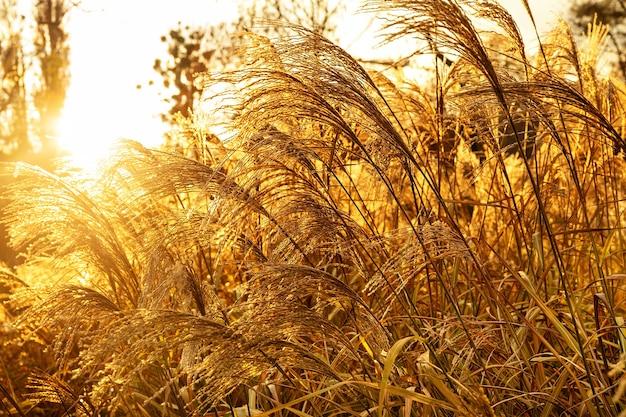秋の暖かい夕日の光線でパンパスグラスまたはドライリード。トレンディなゴールドカラー。ナチュラルテーブル。