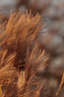 パンパスグラスプラント。自然な秋の葦。コルタデリアの羽、装飾、植物。庭の環境のパンパスグラス。ゴールデンブラウンソフトセロアナ、美しい屋外