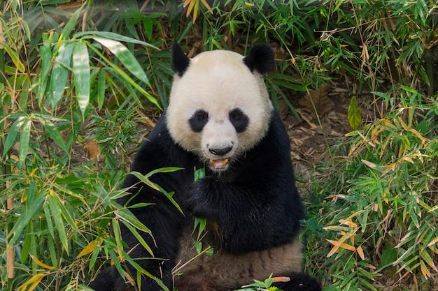 Panda between bamboos
