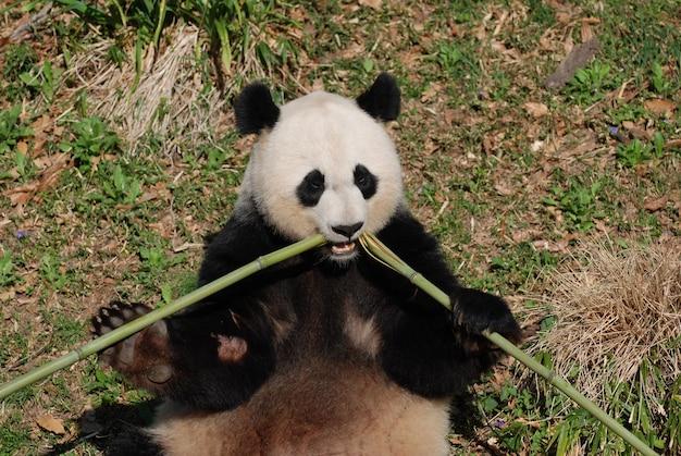 중앙에서 죽순을 먹고 있는 팬더 곰.