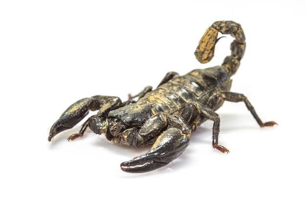 Скорпион (pandinus imperator) на белом фоне