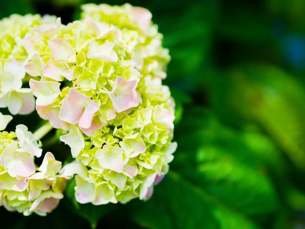 クローズアップクリームホワイトアジサイpaniculataライムライトの花。