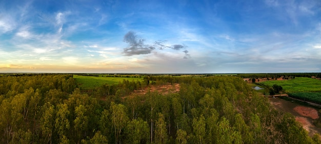 Panorama aerial view from drone reforestation of eucalyptus for production
