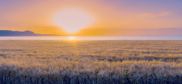 Panorama of barley field during colorful sunset. soft focus, sunflare.