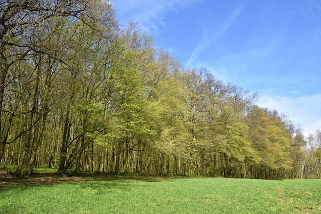 Panorama beautiful green forest in springtime.