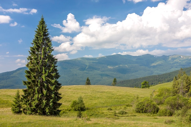 Panorama of carpathian mountains in summer with lonely pine tree standing in front and puffy clouds and mountain ridges  landscape on background