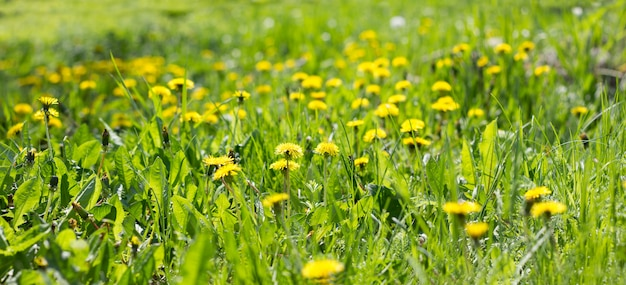 Panorama of the field of yellow dandelions