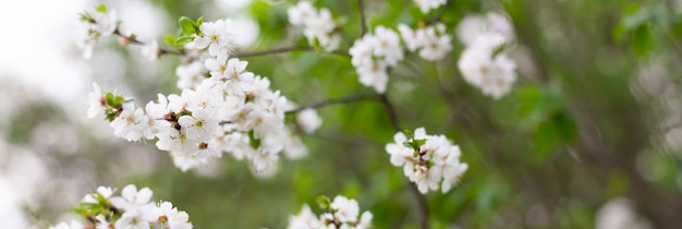 Panorama of flowering trees in the spring season. white flowers on tree branches with copy space.