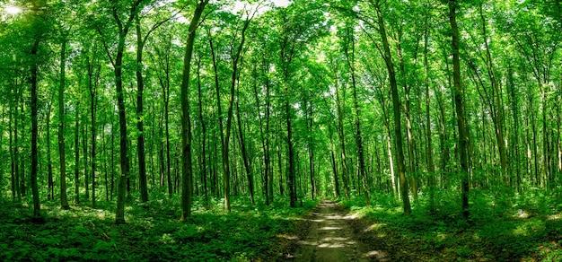 파노라마 숲 나무. 자연 녹색 나무 햇빛.