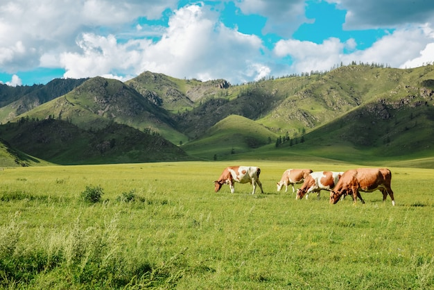 Panorama of grazing cows in mountains in meadows, beautiful landscape of pasture