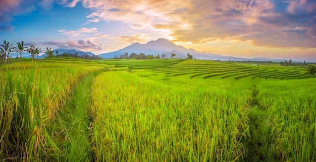 パノラマの風景インドネシアの美しい山々と朝の緑の田んぼの広大な広がり