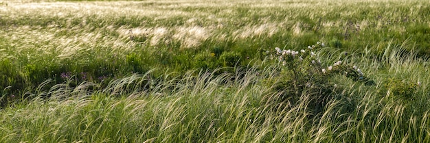 Panorama of large meadow with a feather grass and wild rose bush
