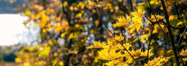 Панорама осеннего леса у реки с желтыми кленовыми листьями на деревьях, баннер