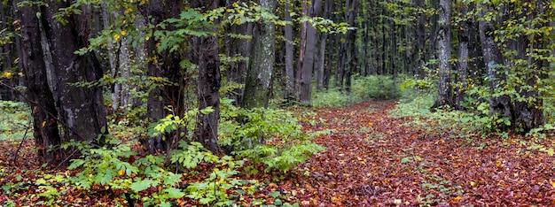 秋の森のパノラマ。未舗装の森の落ち葉