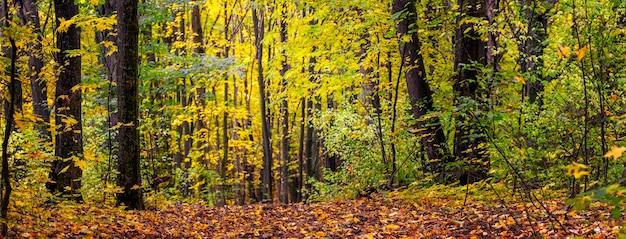 色とりどりの木々と落ち葉が地面に落ちた秋の森のパノラマ。森の中の美しい秋