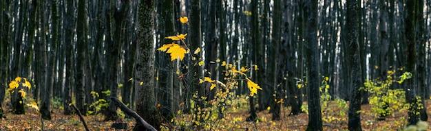 Панорама осеннего леса с последними листьями на деревьях