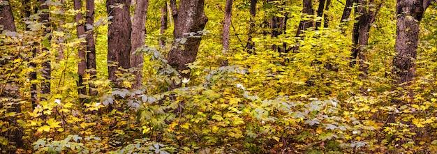 Панорама осеннего леса со стволами деревьев и желтыми толстыми листьями