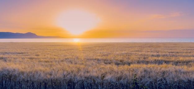 Панорама поля ячменя во время красочного заката. мягкий фокус, солнечные блики.