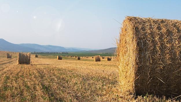 수확 후 건초의 둥근 베일의 필드의 파노라마 햇빛으로 범람하는 농업 분야 프리미엄 사진