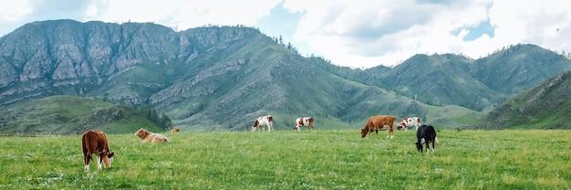 Панорама пасущихся коров в горах на лугах, красивый пейзаж пастбища