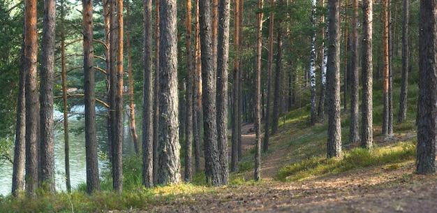 湖の近くの松林のパノラマ、道はまっすぐな幹の間の距離に入ります