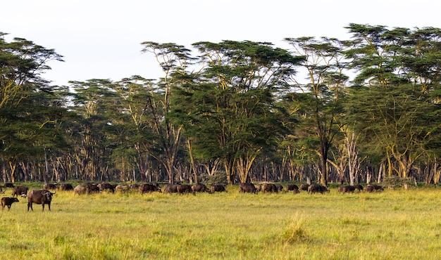 Панорама саванны. пейзаж с буйволом. накуру, кения.