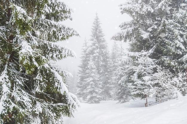 冬の凍るような日には、雪に覆われた背の高いモミの木のパノラマが森の中で育ちます