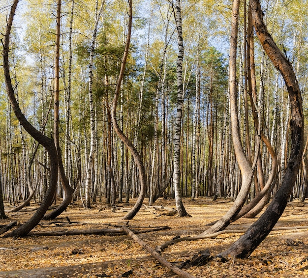 Панорама танцующего леса одним осенним днем в рязанской области в россии.